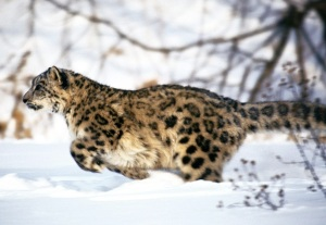 Snow_Leopard_runs_trees