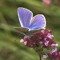 Common_blue_PE