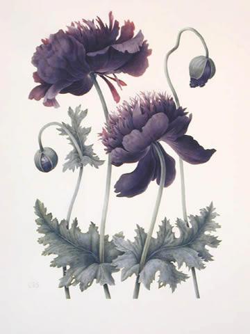 blackopium-poppy