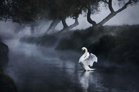 beautiful-swan