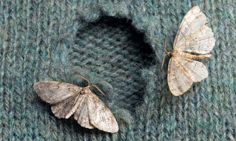 clothes moths on sweater