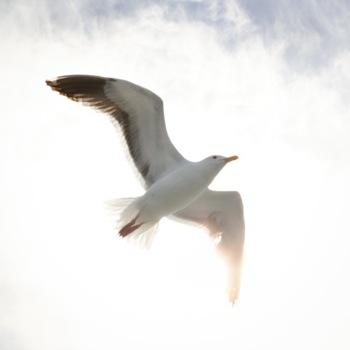 seagull-ventura-county