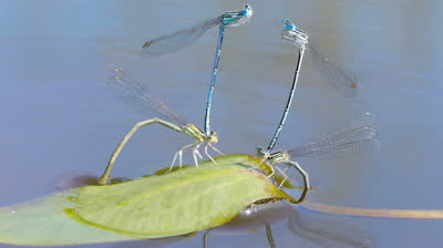 stock-footage-macro-shot-of-mating-dragonflies