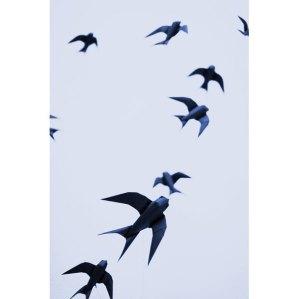 swallows_1492326i