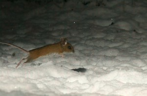 20060104_d3e_28547 fb1 fieldmouse leaping over snow 2005dec28_03-38-44(r+mb id@576)