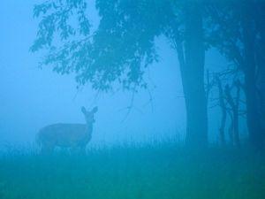 shenandoh-foggy-forest_2083_600x450
