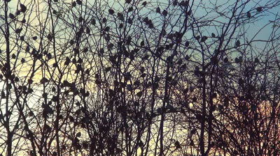 stock-footage-flock-of-sparrows-sitting-on-the-bare-branches-of-a-tree-many-birds-standing