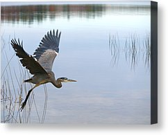 blue-heron-3-peter-gray