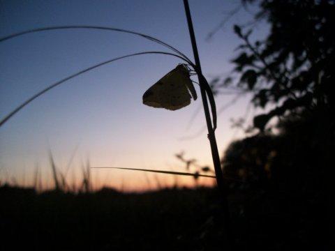 Dusk_Butterfly_by_Oceanfable