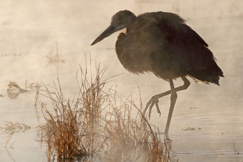 Great Blue Heron (in mist at sunrise) 1, 4 x 6 copy 2