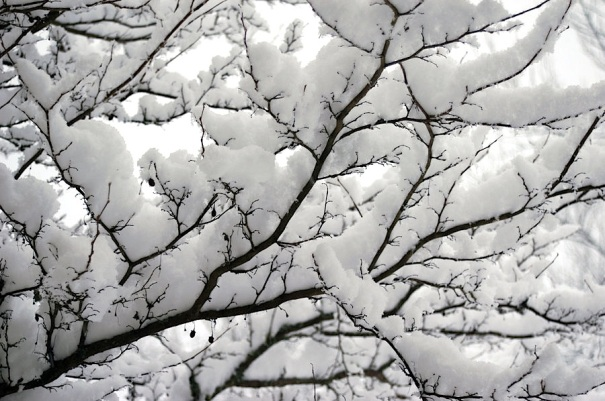 snow_on_branches_by_mogieg123-4jrt37