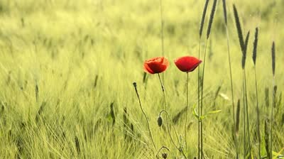 stock-footage-corn-poppy-papaver-rhoeas-and-barley-hordeum-vulgare