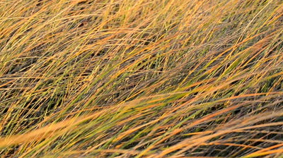stock-footage-reeds-in-the-wind