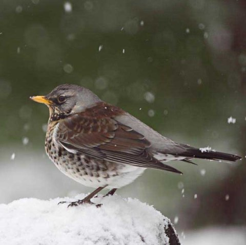 Fieldfare1 survey