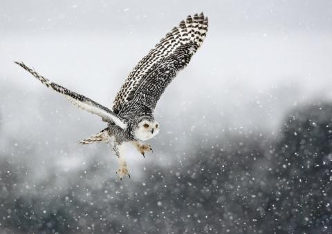Snowy Owl in snow