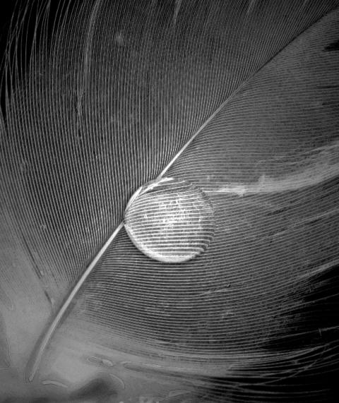 dew-drop-feather1