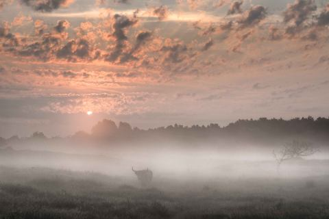 Highland-Cow-in-Morning-Mist stan schapp