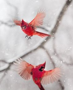 red cardinals in snow