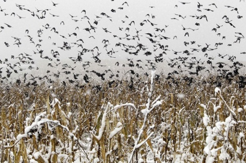 Birds-fly-out-of-a-snow-c-010