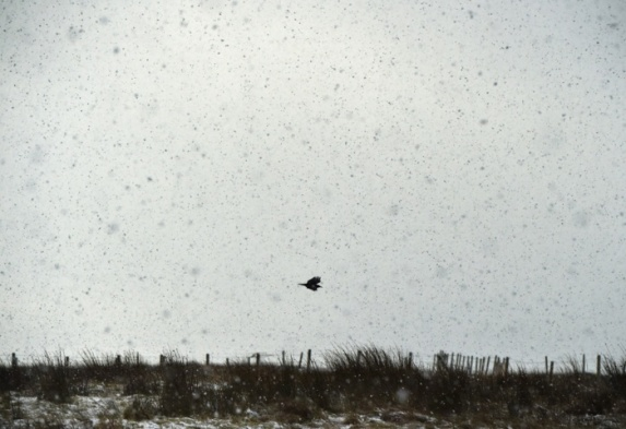 crow in snow storm