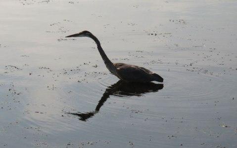 Heron1crop_Fish-Crow-083013-030-(2)