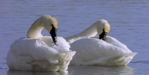 155_swans_13_590x300