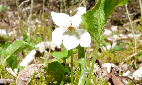 Country Diary : White Violet