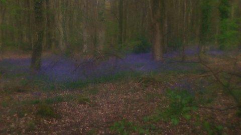 bluebell_carpet_by_capt_scarlet-d7k6g6t