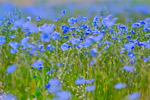 fieldofblueflowers