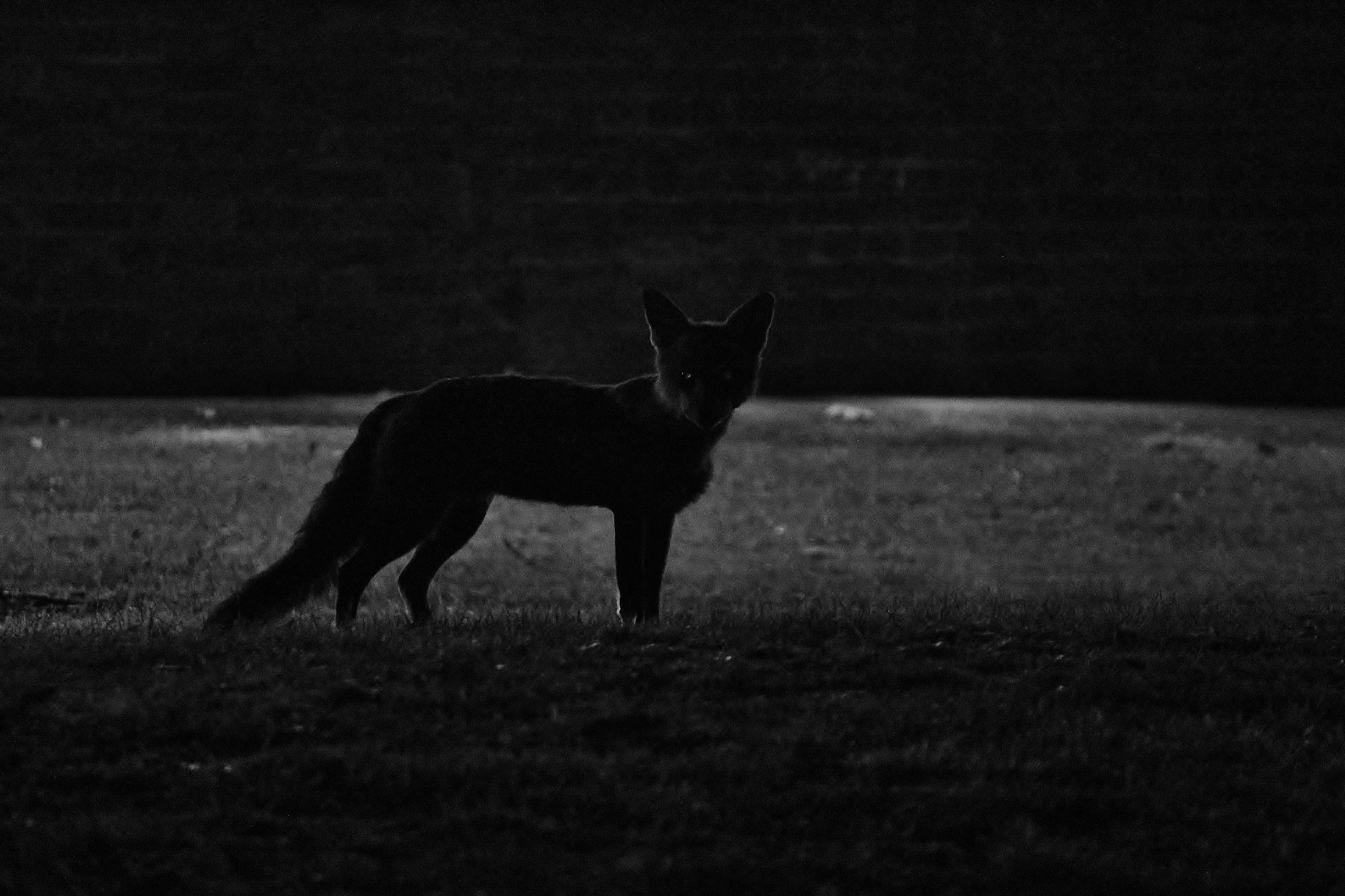 night-fox-037