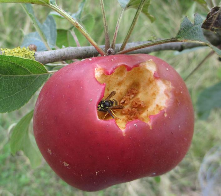 red-victoria-wasp