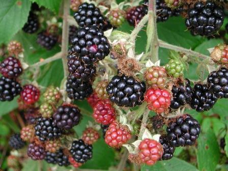 Wild_blackberries(1)