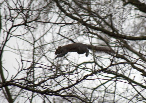 leaping-squirrel
