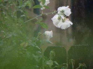 white_rose_green_rain_by_hockeymask-d8rsw8w