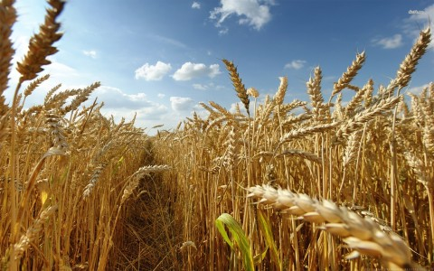16660-wheat-field-1920x1200-photography-wallpaper