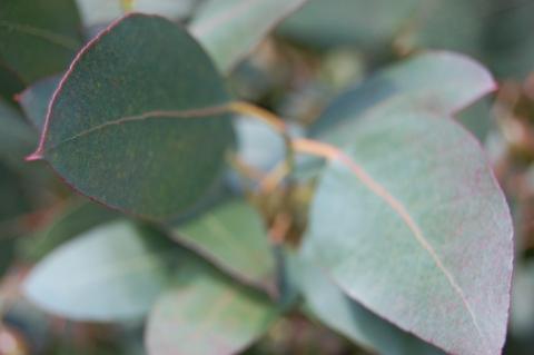 eucalyptus-urnigera-leaf.jpg