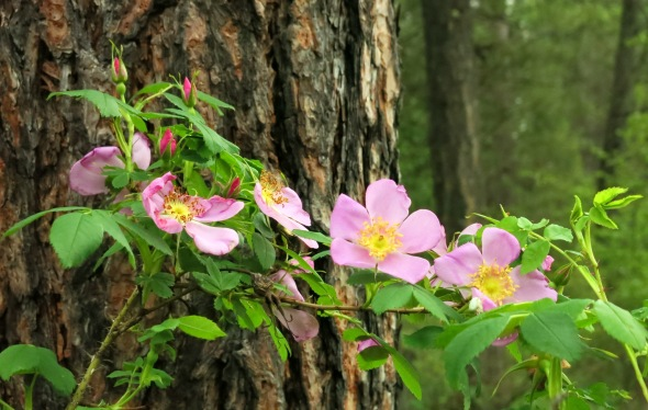 img_3041-wild-roses-woods.jpg