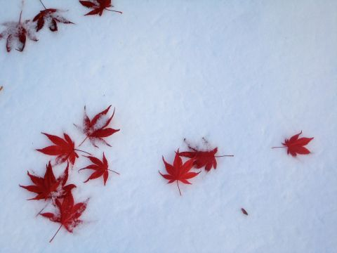 red-leaves-in-snow.jpg