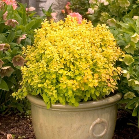 alternative-to-boxwood-key-yellow-leaves-flowerpot-idea.jpg