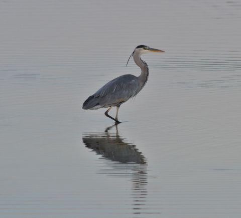 grey-heron-07-otmoor1.jpg