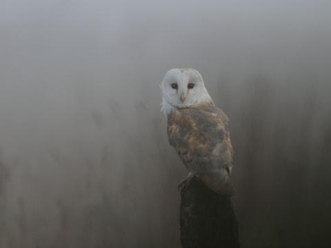Rey-owl-mist.JPG