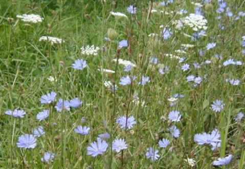 chicory-queenanne-lace