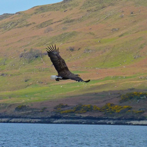 P1020402 Sea Eagle.jpg