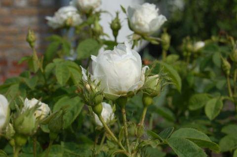 rozen verjongen7 - 1