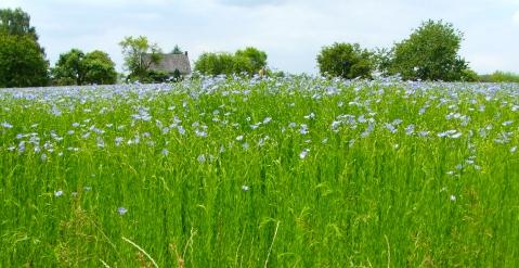 flax-field-a.jpg