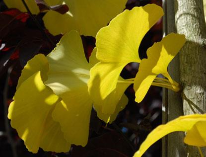 Gingko_fall-leaves