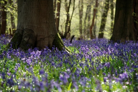 Bluebell-wood-Lisa-Cox-Garden-Designs.jpeg