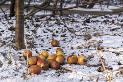 rotten-apples-snow-sunny-day-37413418