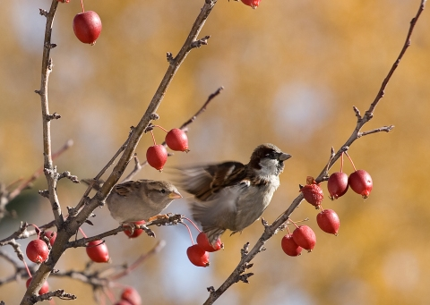 sparrows_in_crabapple_tree