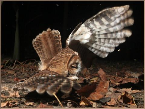 20140101_d5c_20131111_0415_028_fb2-tawny-owl-hunting-crop-2rmb-id1024